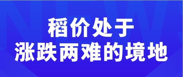 【独家】稻价处于涨跌两难的境地