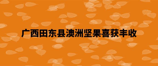 广西田东县澳洲坚果喜获丰收